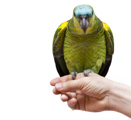 parrot in hand isolated