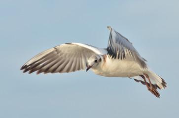 Flying gull (Larus argentatus)