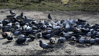 A flock of pigeons flock to feed. HD video