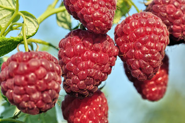 close-up of ripe raspberry