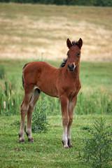 brown horse foal on field