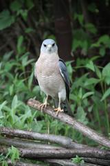 Steppe Falcon on a dead branch