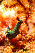canvas print picture - nembrotha sp nudibranch kapoposang indonesia diver scuba diving