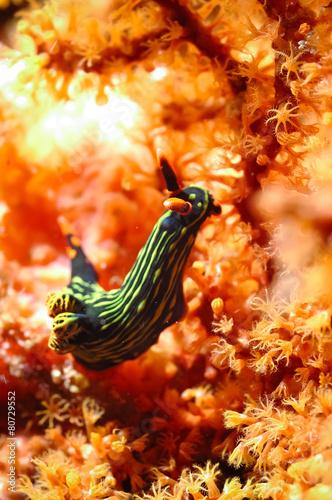 canvas print picture nembrotha sp nudibranch kapoposang indonesia diver scuba diving