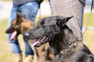 Dutch shepherd dog portrait