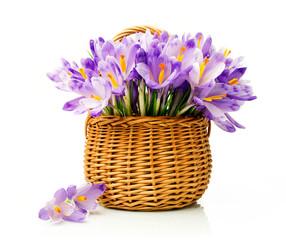 Purple crocuses in a wicker basket