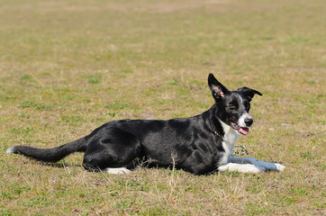 Beauty Border Collie on field