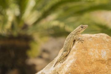 Gecko mit Stein und Palme im Hintergrund