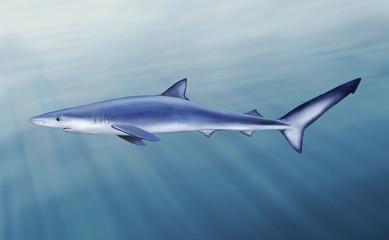 Blue shark, tintorera