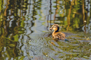 Fluffy duckling on the water