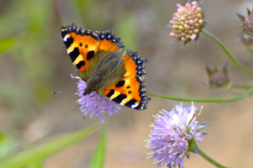 A redhead butterfly on purple wild flower