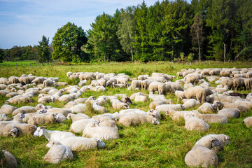 Sheep with lambs at a pasture.  sheep grazing
