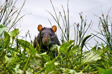 Black rat cautiously peeking out of the grass
