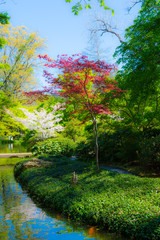 Japanese Maple and Cherry Blossom