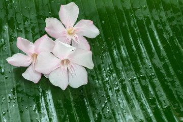 Pink Oleander flower on banana leaf