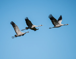 Three Common Cranes in Flight