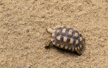 Tortoise walking on the sand