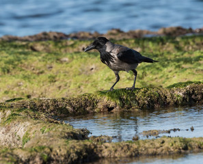 Hooded crow on the sea shore