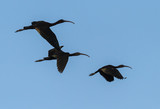Glossy Ibises in Flight poster