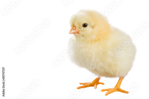 Foto op Aluminium Vogel Little chicken