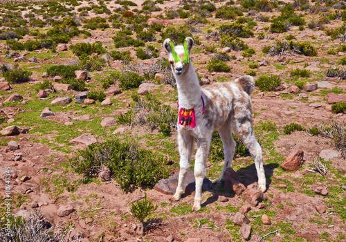 In de dag Lama Cub Lama