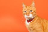 Red tomcat on orange background poster