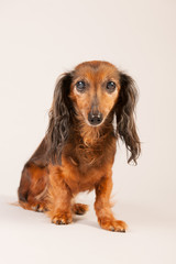 Dachshund on beige background