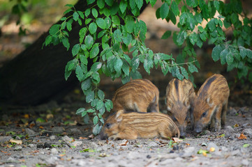 Young wild pigs