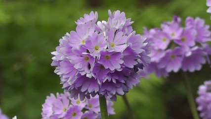 Spring Flower Blooms of Primula in an English Water Garden
