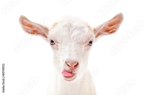 Leinwandbild Motiv Portrait of a goat showing tongue