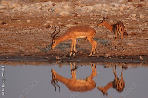Plexiglas Antilope Zwei Impalas am Wasserloch im Etosha Nationalpark, Namibia