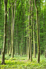 beech green trees in spring  forest