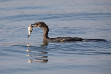 Reed cormorant floating on water while swallow fish