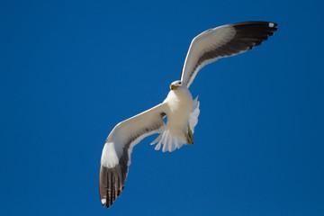 Lone Black back gull flying in bright blue sky