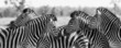 Zebra herd in black and white photo with heads together - 80752503