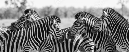 Canvas Afrika Zebra herd in black and white photo with heads together
