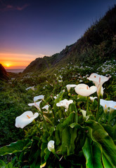 Wild Calla Lilly on Californai coast