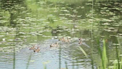 Family of ducks swimming . Summertime