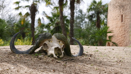 Crâne animal a corne
