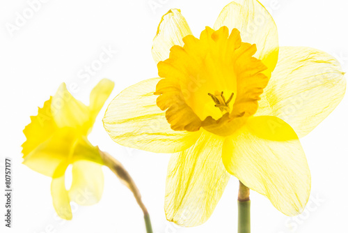 Fotobehang Narcis Two yellow daffodils close up