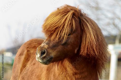Shetlandpony Portrait - 80758533