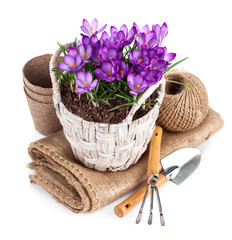 Spring flowers in wicker basket with garden tools. Isolated on