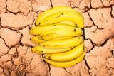 cavendish banana isolated on background poster