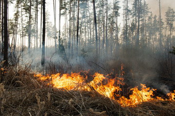 Forest fire in pine stand