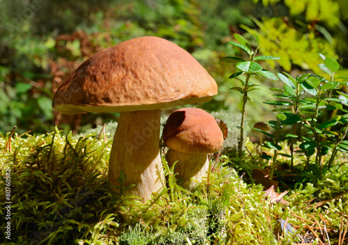 Leinwanddruck Bild Two mushrooms in forest