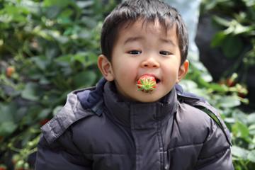 イチゴ狩りをする幼児(2歳児)