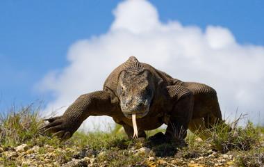 Komodo dragon on sky background. Indonesia.