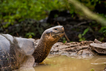 Portrait of beautiful giant tortoise native to the Galapagos