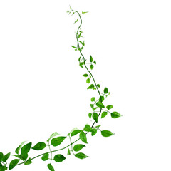 Green creeper on a white background