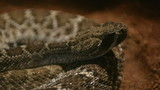 Texas rattle snake cotalus Atrox lying in ambush poster
